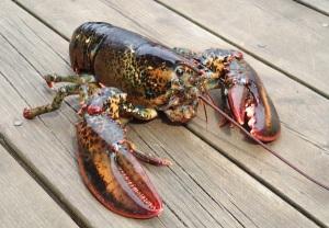 Fresh Atlantic Lobster
